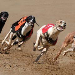Pariuri pe curse de câini / ogari – Cum stabilești pronosticuri mai bune?!